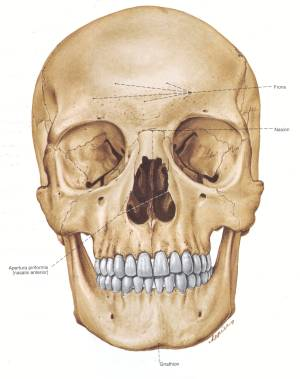 the skull is a complex structure The skull is a bony structure that supports the face and forms a protective cavity for the brain it is comprised of many bones, formed by intramembranous ossification, which are joined together by sutures (fibrous joints) these joints fuse together in adulthood, thus permitting brain growth during adolescence.